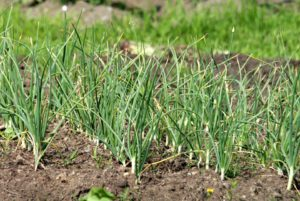 Planting Garlic Bulbs-garlic-herb
