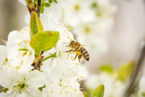 Honey Bee-gardening-what-can-I-do-to-save-the-bees