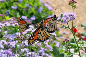 Monarch Butterflies-gardening-for-butterflies-birds-and-bees