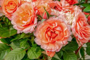 Roses-care-for-roses-in-the-fall