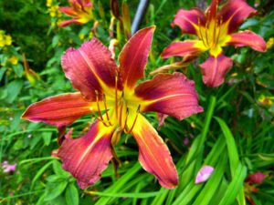 Yellow and Red Daylily-care-of-the-daylilies-plants