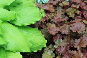 Coral Bells-plants-with-color-in-the-leaves
