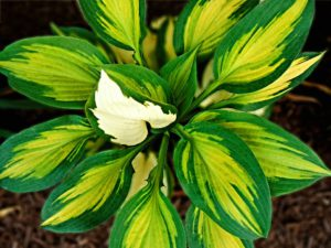 Hosts-hosta-plant-care