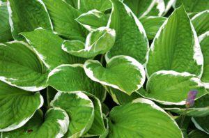 Hosta Plant-hosta-plant-care