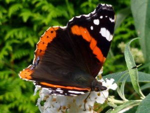 Butterfly on white lilac-how-to-get-lilac-to-flower