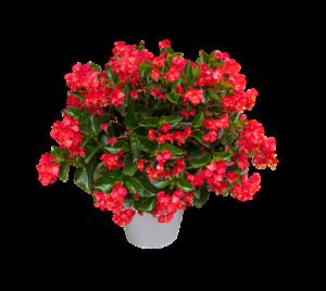 Flowering Begonia-indoor-hanging-plant-basket