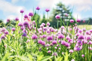 Flowering Chives-herbs-in-hanging-baskets