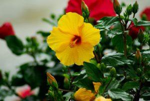 Hibiscus Flowers-hibiscus-gall-midge