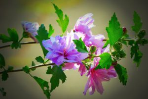 Hibiscus Purple Mallow-hibiscus-gall-midge