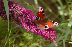 Peacock Butterfly on lilac-how-to-get-lilacs-to-flower