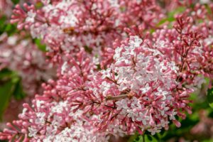 Pink and white lilac-how-to-get-lilacs-to-bloom