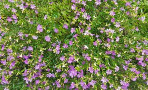 Purple mexican heather-mexican-heather-plant-care