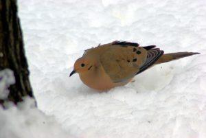 Morning Dove-winter-wildlife-garden