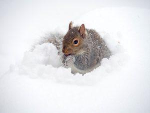 Squirrel In The Snow-winter-wildlife-garden