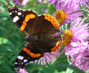 Admiral butterfly on aster flowers