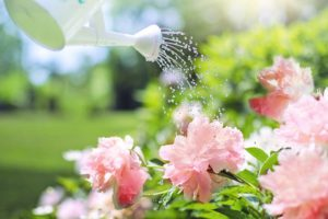 Watering Pink Peonies-june-gardening-tips