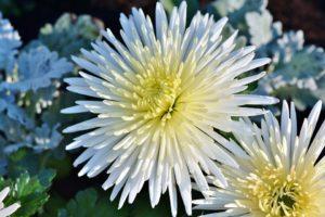 White Flower-aster-flower