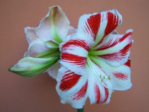 Amaryllis-amaryllis-plant-instructions