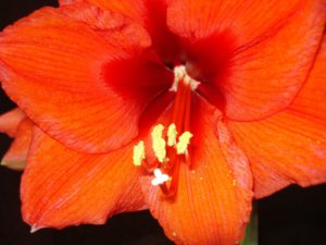 Amaryllis Flower Red-amaryllis-plant-care-instructions