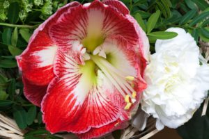 Amaryllis Red Blossom-amaryllis-plant-care-instructions