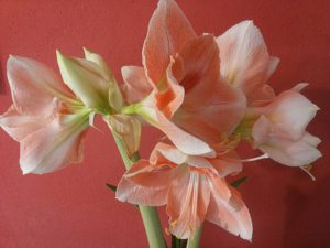 Amaryllis White Pink-amaryllis-plant-care-instructions