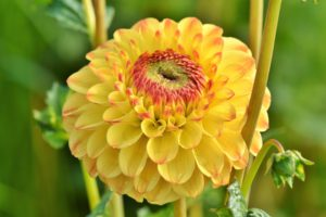 How To Grow Dahlia-yellow-dahlia