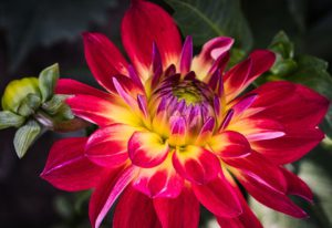 How To Grow dahlias-dahlias