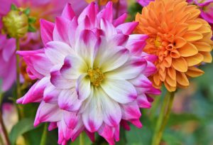How To Grow Dahlias-dahlias-flowers