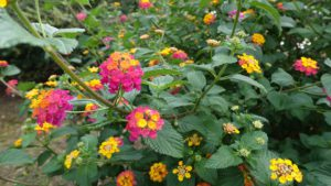 Common Landscaping Mistakes-lantana-flowering-plants