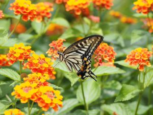 Swallowtail Butterfly-lantana-plants