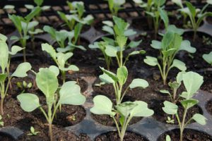 Cabbage Seedlings-grow-your-own-microgreens