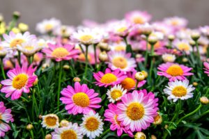 Chrysanthemum-chrysanthemum-flower-care