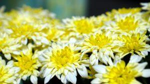 Chrysanthemum-chrysanthemum-flower-care