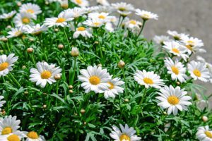 Daisies-daisy-flower-care