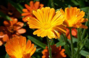 Daisy Flowers-daisy-flower-care