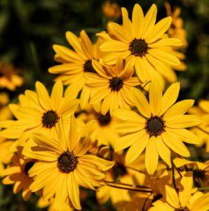 Daisy-daisy-flower-care