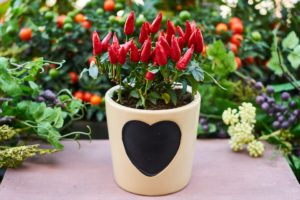 Peppers-container-vegetable-garden-tips