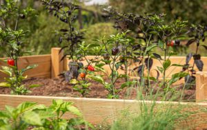 How To Build A raised Bed Herb Garden-Chilli-peppers