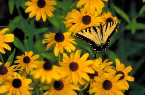 Black-eyed Susan-Black-eyed Susan flowering-plant