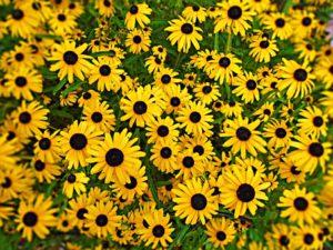 Black-eyed Susan flowers