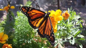 Monarch Butterfly-monarch-butterfly-life-cycle
