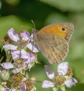 Meadow brown butterfly collecting pollen