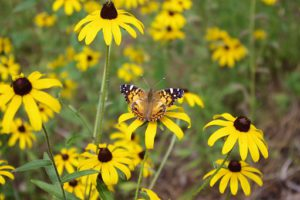 Butterfly on black-eyed susan