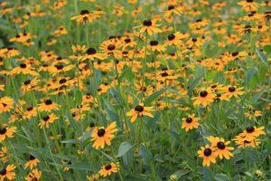 Black-eyed Susan flower garden