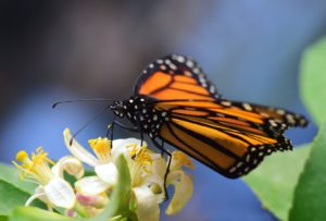 Monarch Collecting Pollen