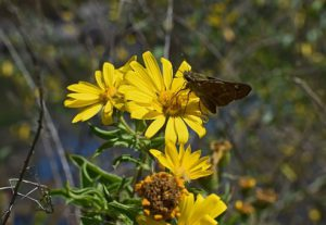 A silver-spotted skipper-on sunflower