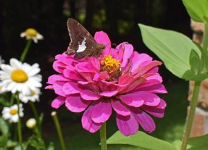 silver-spotted-skipper-on-zinnia