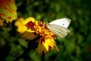 Cabbage white butterfly life cycle-Cabbage-white-collecting-nectar