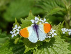Orange-tip-butterfly-collecting- nectar