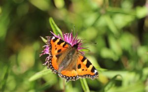 Small tortoiseshell butterfly-collecting nectar